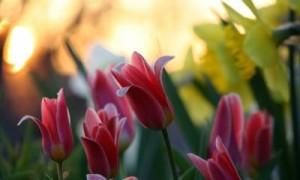 Советы по фотосъемке тюльпанов